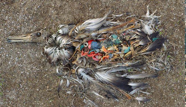 Ave muerta por la ingestión excesiva de plástico en Islas Midway (Pacífico Norte)