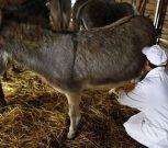 La leche de burra se abre paso para atender a lactantes en Chile