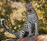 Una madre se lanza gritando sobre un leopardo para salvar a su hijo