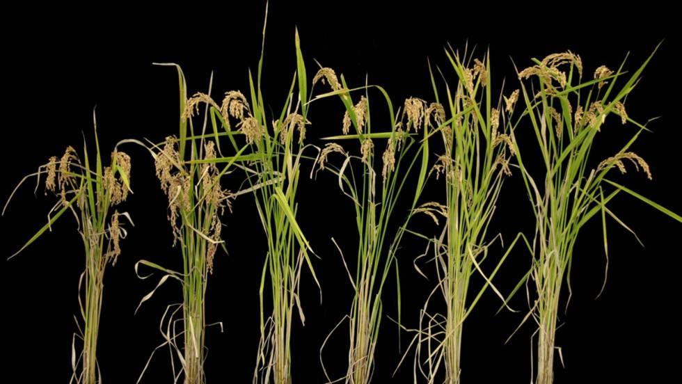 El arroz como alimento importante y trangenico