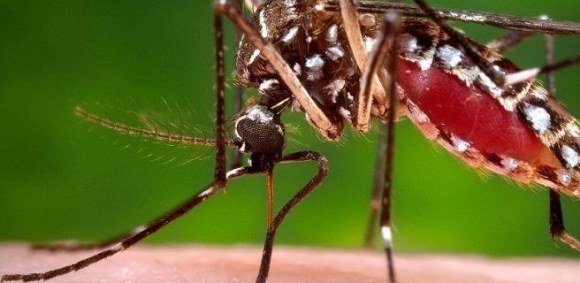 Haber padecido dengue puede atenuar la infección con Zika