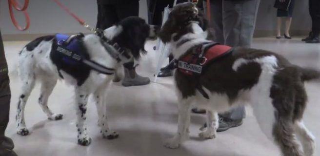 Angus y Dodger, los perros canadienses cazadores de una superbacteria
