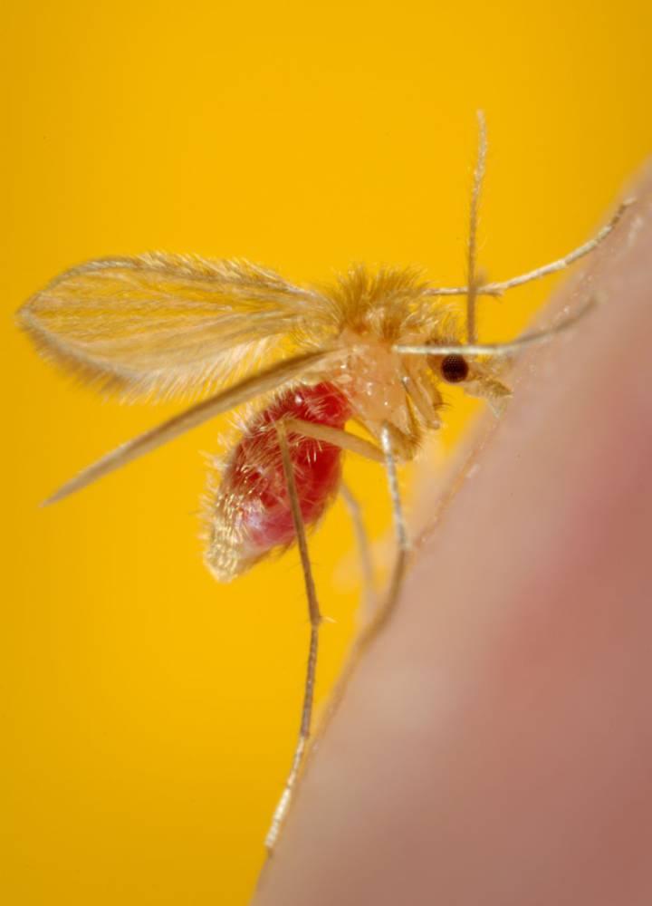 Esta enfermedad viene de la mano del mosquito flebótomo